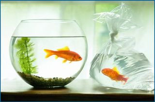 202_goldfish
